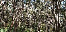 Un bosque de eucaliptus.