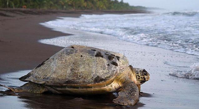 Una de las muchas tortugas que cada a�o desovan en Playa Tortuguero