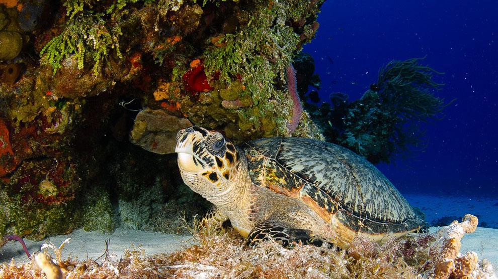 En Cozumel, México, una de las mecas de los submarinistas, pueden verse tortugas acuáticas como ésta.