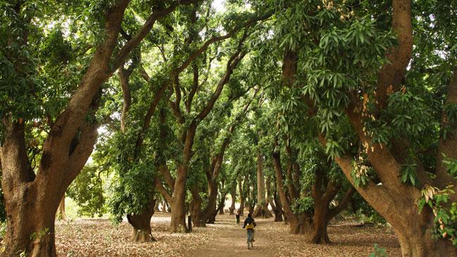 Los frondosos bosque de mangos camino a las cascadas de Karfiguela.
